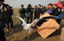 The Saga Continues - How Two Abandoned Oriental Stork Chicks Made it Back to the Wild_2
