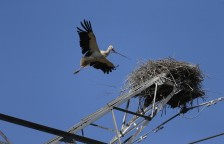 The Saga of Two Oriental White Stork Chicks_1
