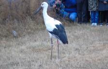 志愿者解救的东方白鹳被放归自然。鄱阳湖是东方白鹳的理想越冬栖息地,也是保尔森基金会生态保护项目的项目点。