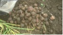 减化肥30%种植方式蒜果
