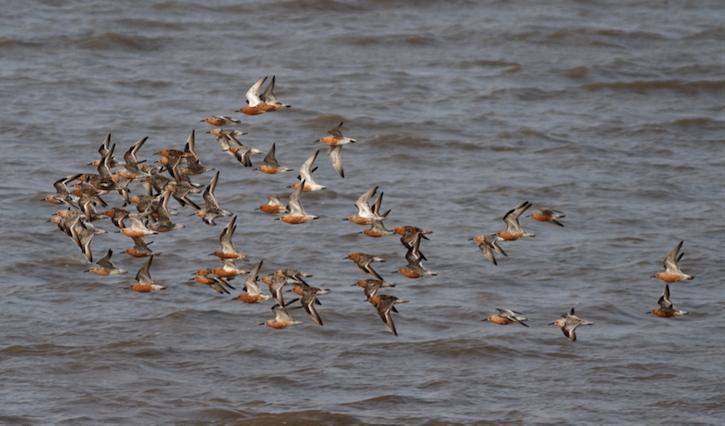 在红腹滨鹬等迁徙水鸟从北极圈繁殖地迁往澳大利西亚越冬地的过程中,中国东部沿海的滨海湿地为其提供了不可或缺的停歇地| 图 Terry Townshend