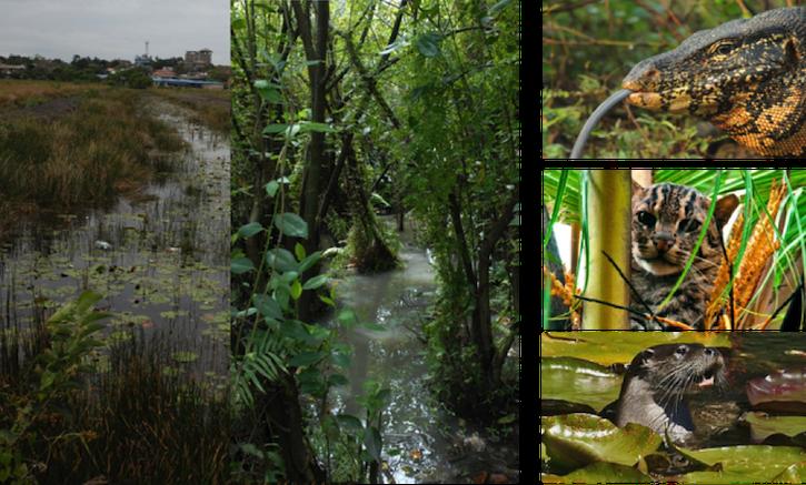 科伦坡湿地管理机构在对城市湿地的效益进行分析后,改变了其湿地管理政策。因此,那些依赖于这些城市湿地生存的野生动物,如珍稀濒危物种渔猫,其未来生存状况有望得到改善| 图:WWT Consulting