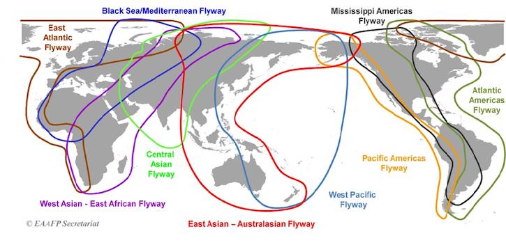 东亚—澳大利西亚迁飞路线(EAAF)是全球公认的九大鸟类迁飞路线之一,北起俄罗斯的远东地区和美国阿拉斯加,向南经东亚和东南亚地区,最后到达澳大利亚和新西兰,共涉及22个国家。该迁飞路线上共生活着5000多万只迁徙水鸟,包括涉禽、雁鸭类、鹤类和海鸟等,其中包括32种全球受威胁水鸟和19种近危水鸟。