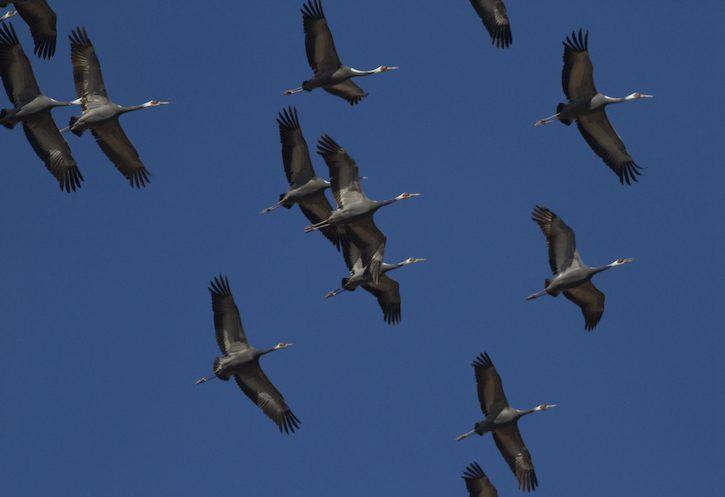 北大港湿地是濒危物种白枕鹤重要的栖息地。(照片来源: Terry Townshend)